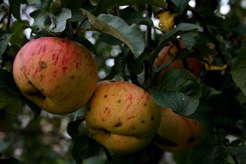 Darmowe zdjęcie z galerii z jabłka, jabłka na drzewie, jabłoń