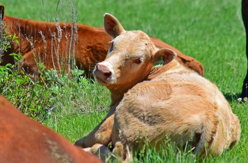 Free stock photo of cows, laying down