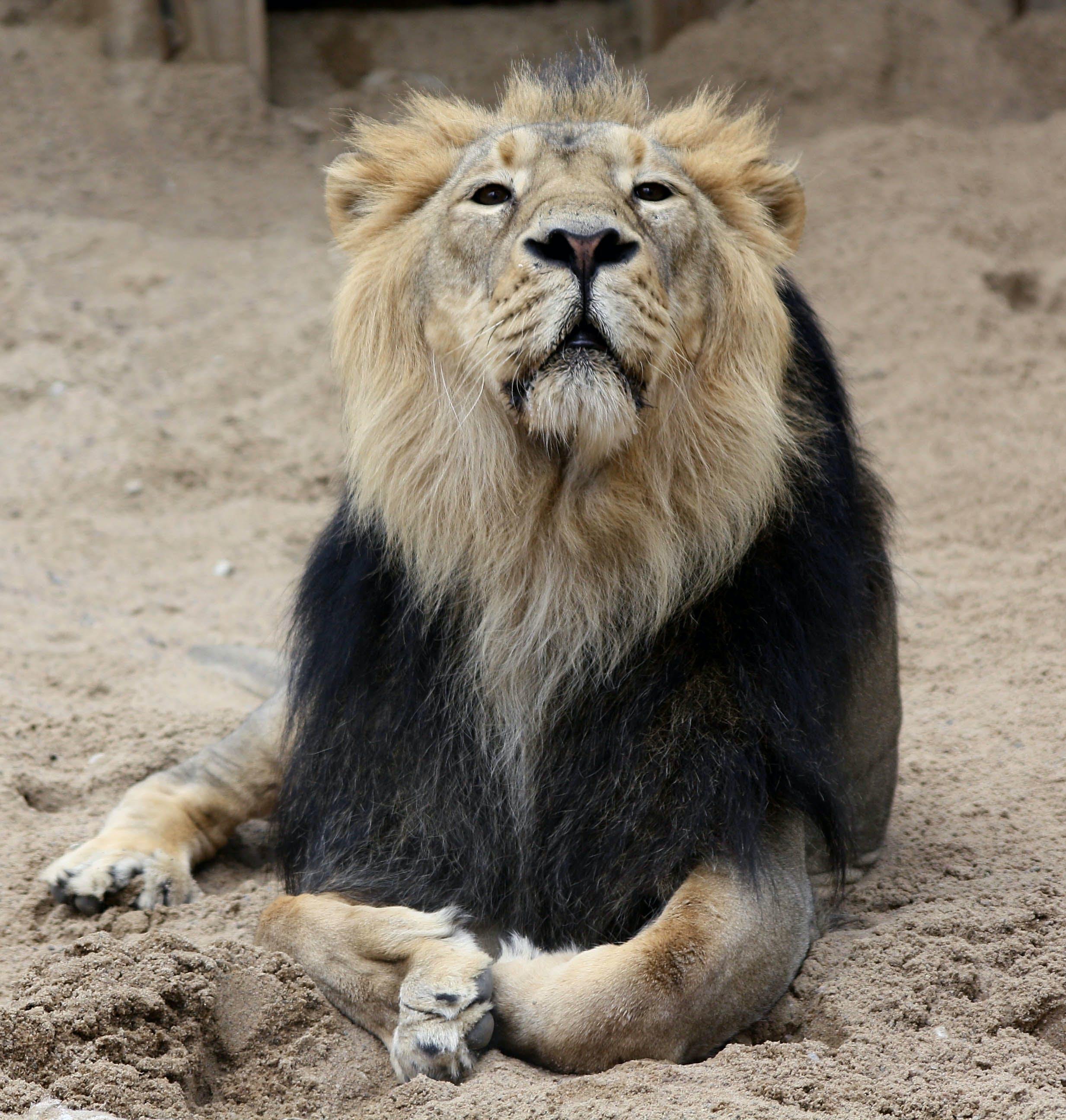 Free stock photo of lying lion