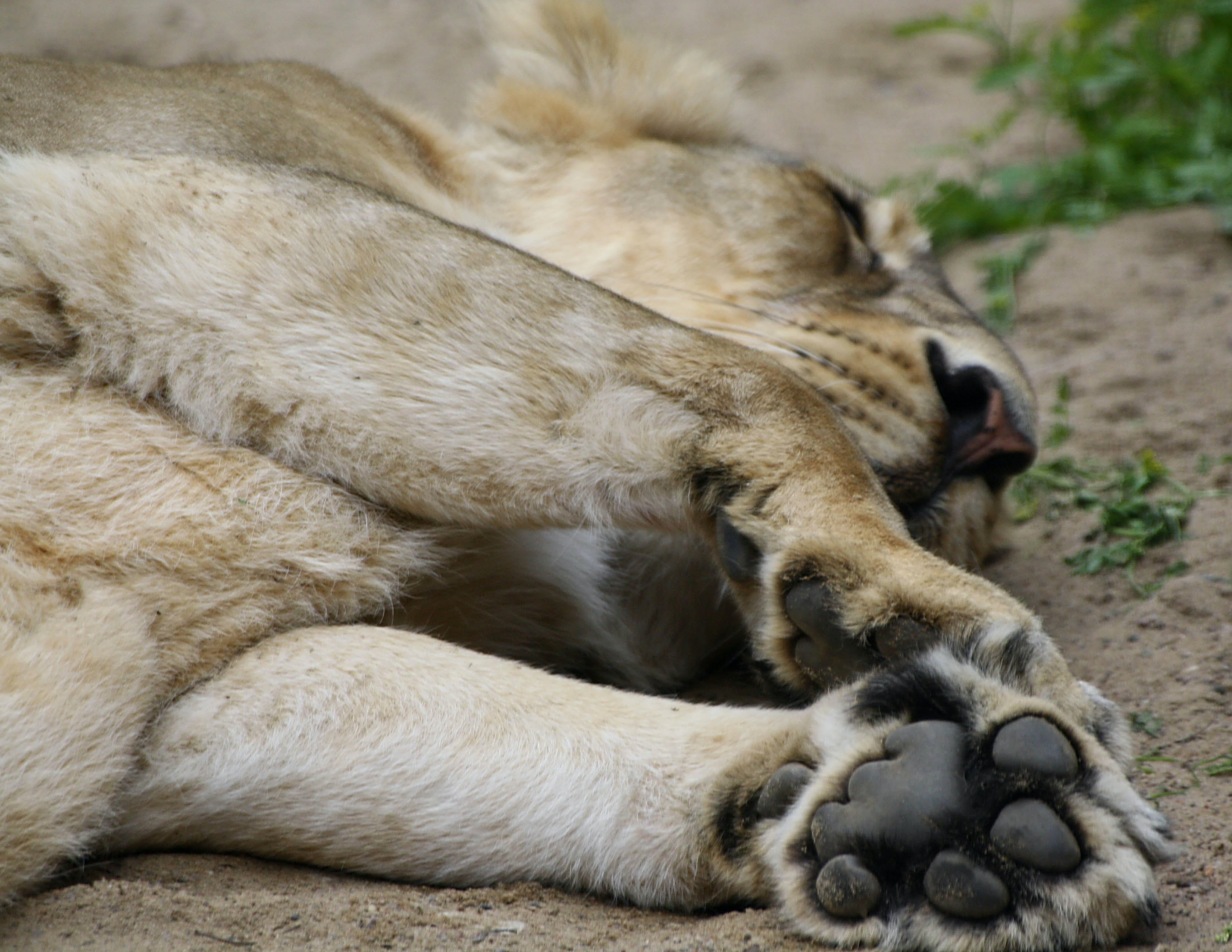 Free stock photo of lion, lion's foot, sleeping lion