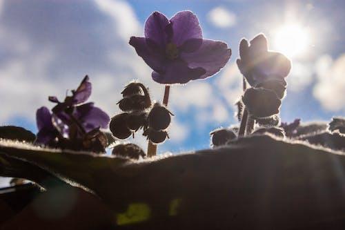 Ingyenes stockfotó ibolya rügy, ibolya virág, virág és napsütés témában