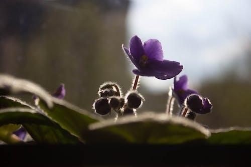 Ingyenes stockfotó árnyék játék, gyönyörű virág, ibolya rügy témában