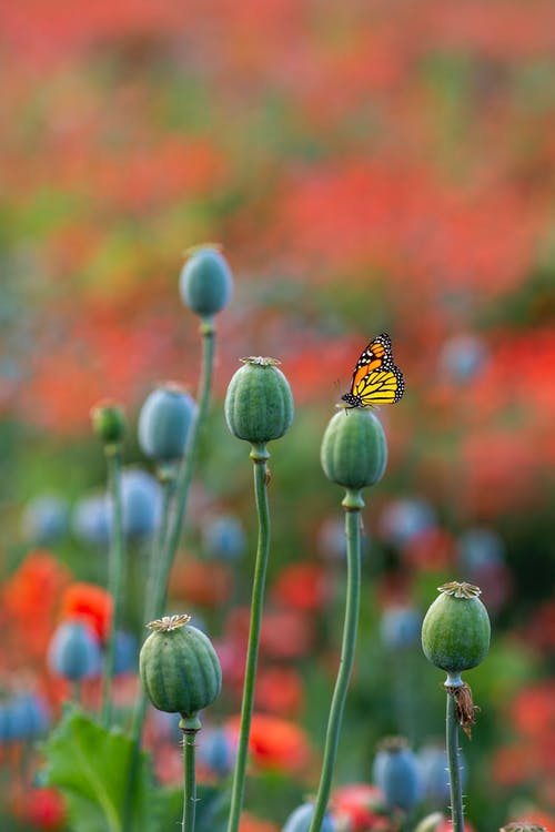 Close-Up Shot of a Monarch Butterfly Perched on a Flower Bud