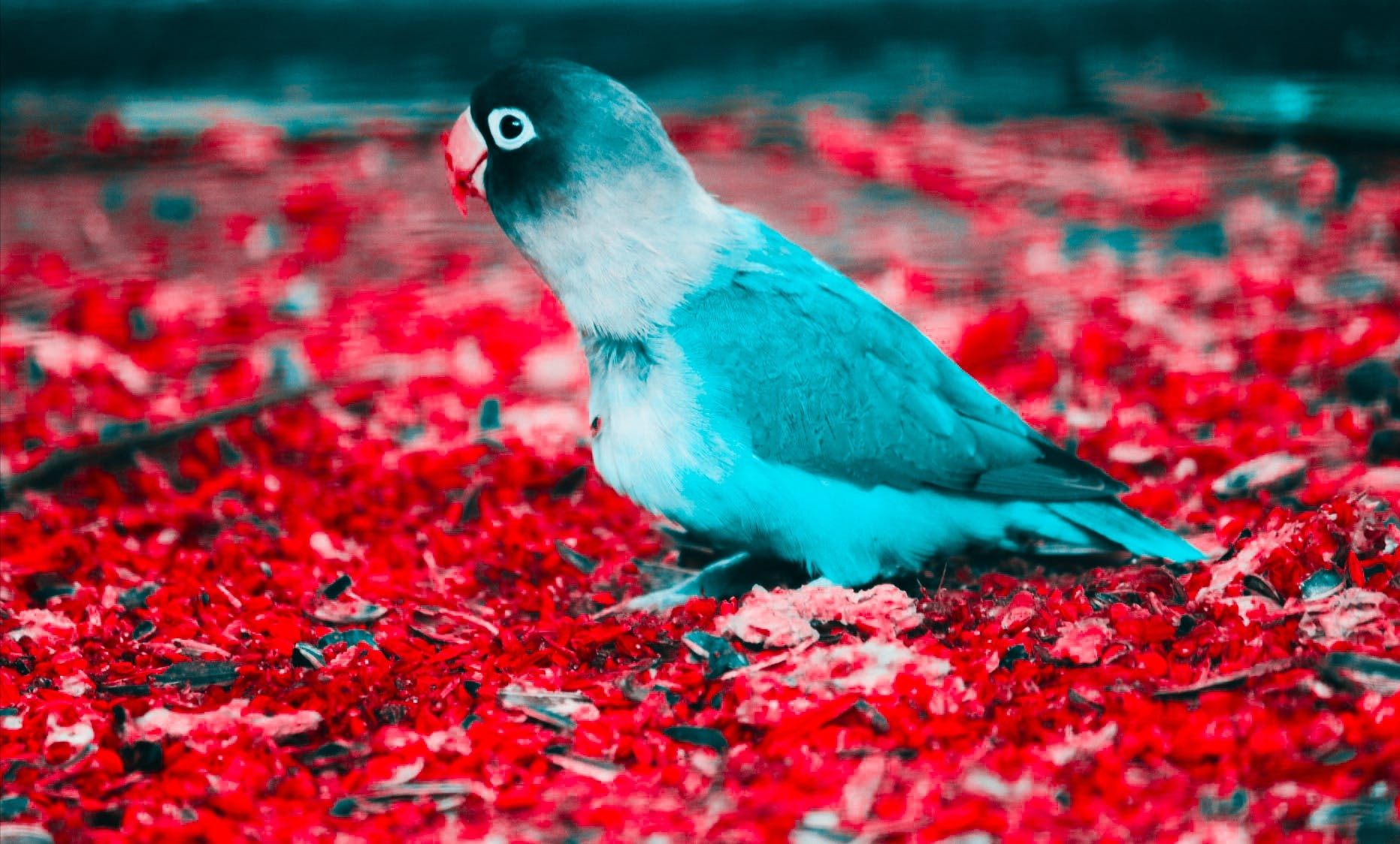 Blue and White Parakeet on Red Flooring