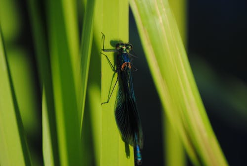 Closeup Photo of Black and Blue Damselfly on Green Leaf