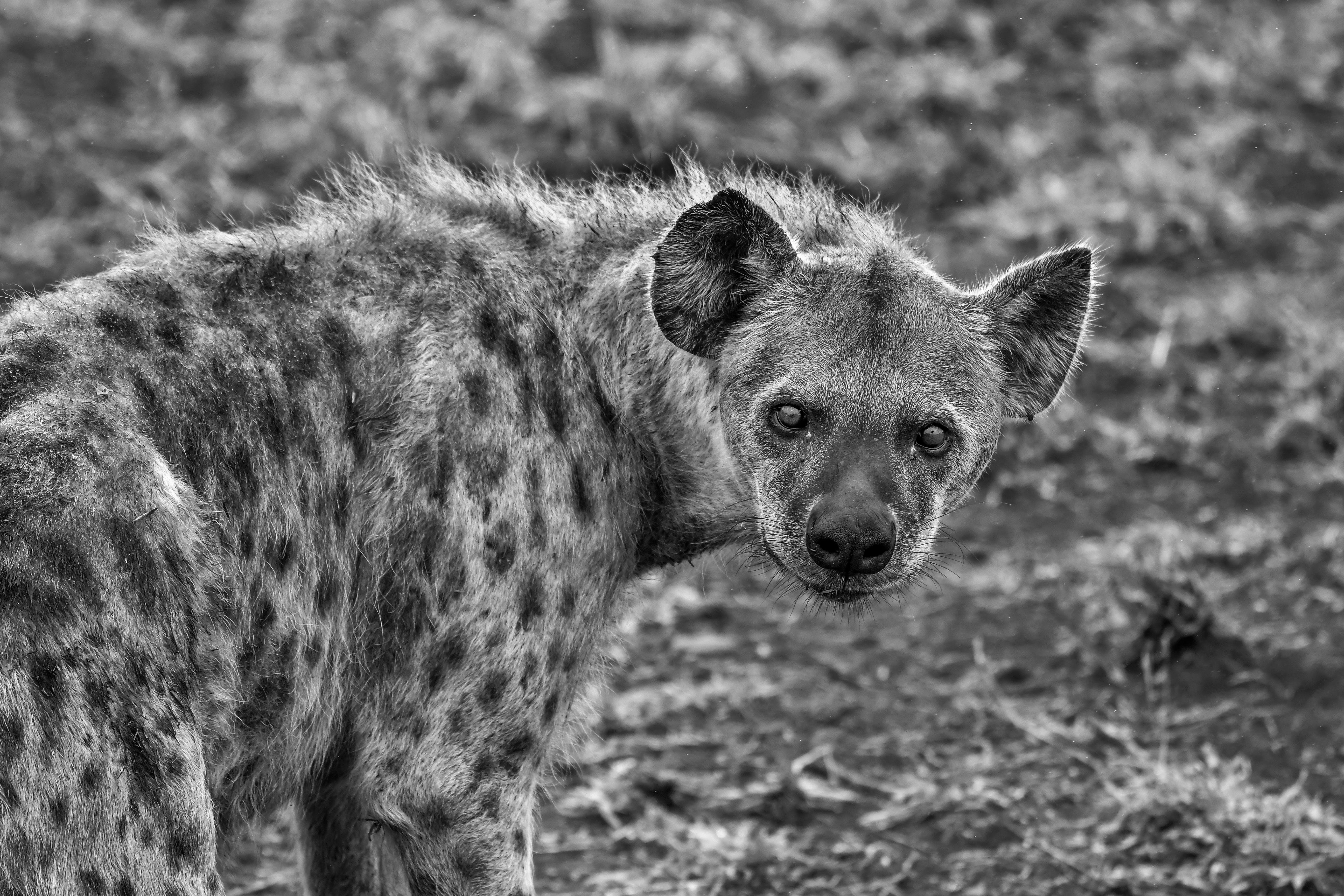 Základová fotografie zdarma na téma černobílá, denní, dívání, divočina