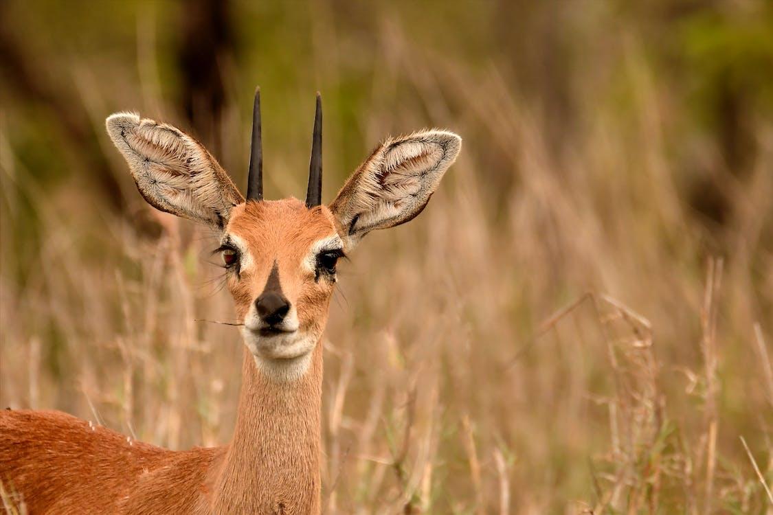 газель, голова, дикая природа