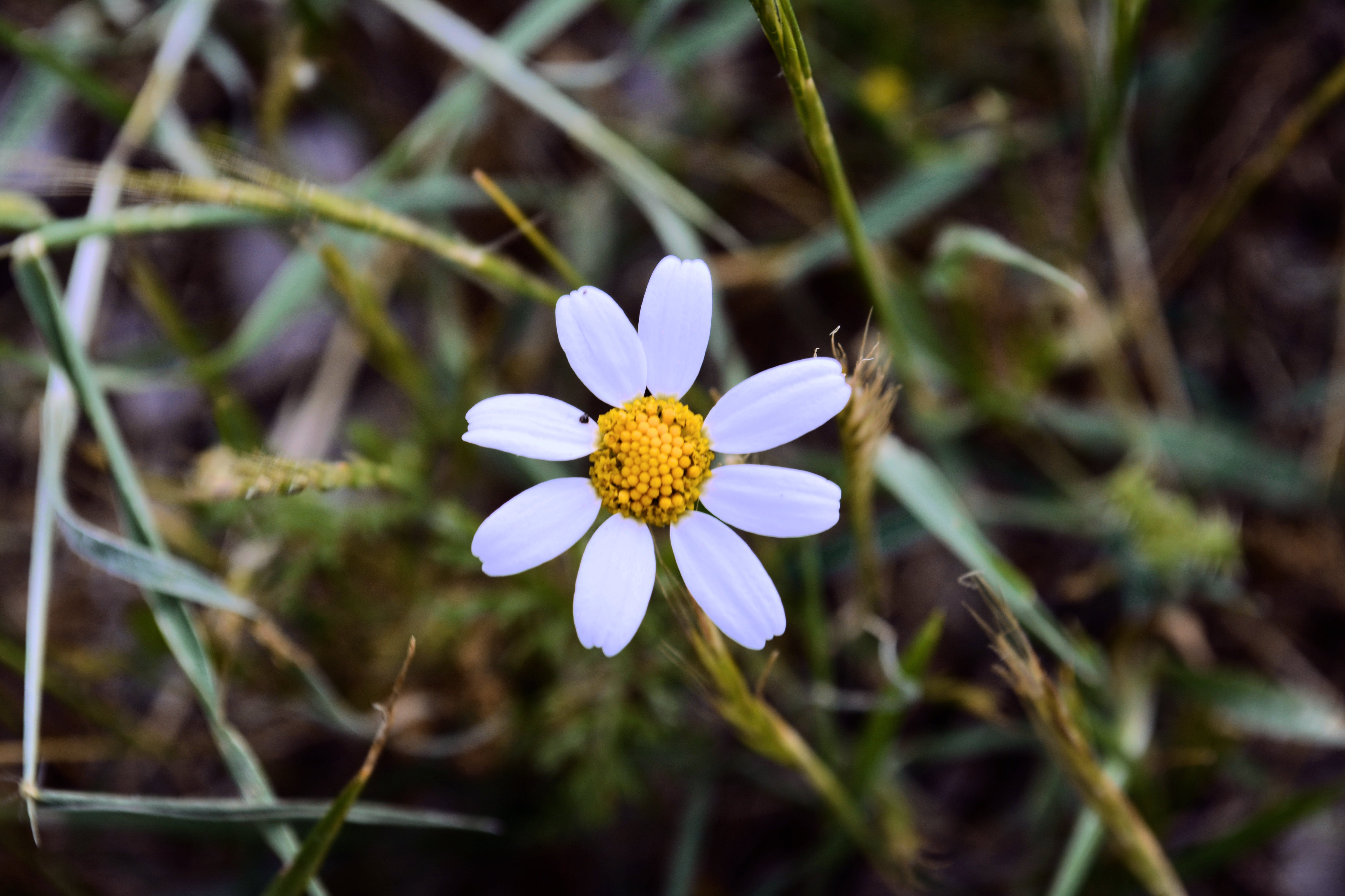 Free stock photo of beautiful flowers, daisy, dark green, leaf