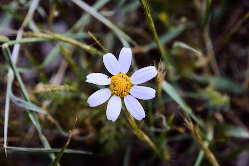 Foto profissional grátis de amarelo, branco, flor da primavera, flores bonitas