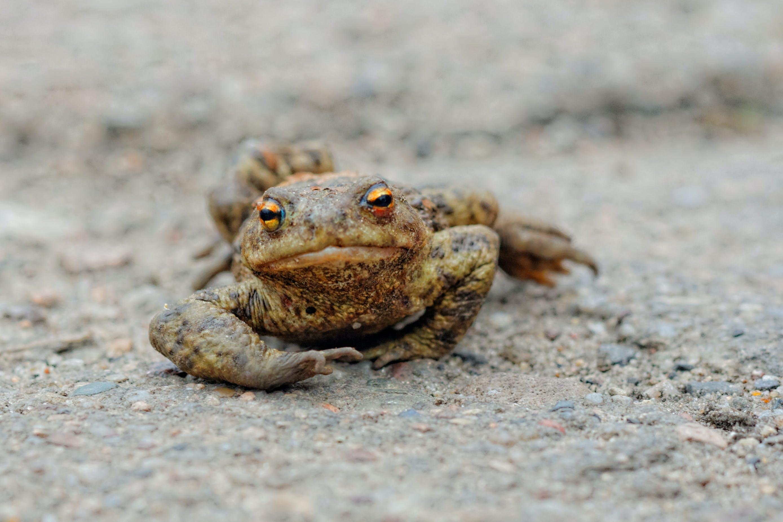 Kostenloses Stock Foto zu amphibie, frosch, makro, tier