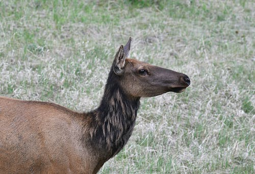 Free stock photo of animals, canada, elk
