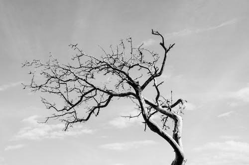 Ilmainen kuvapankkikuva tunnisteilla luonto, musta valkoinen, puu, taivas