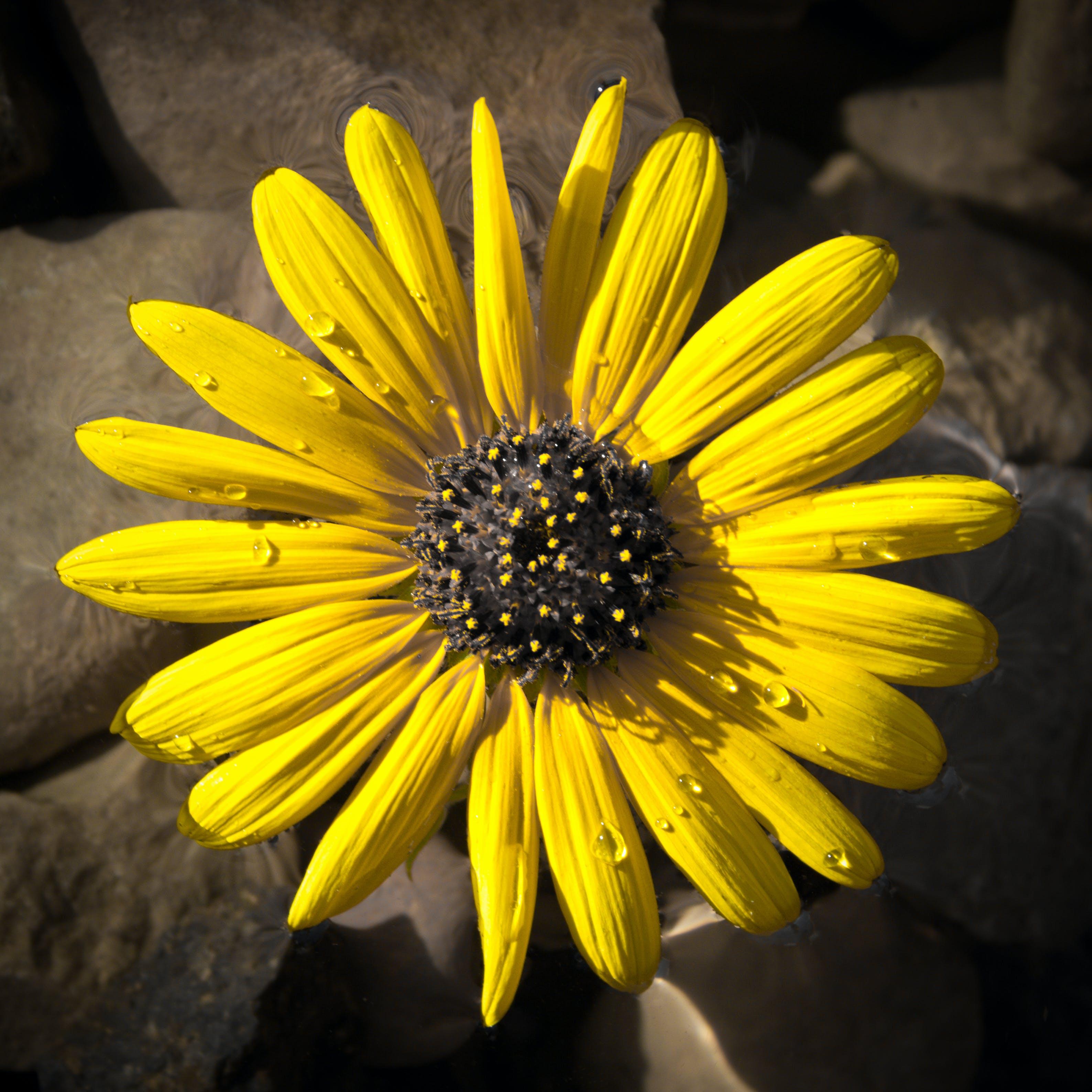 Kostenloses Stock Foto zu gelb, sonnenblume