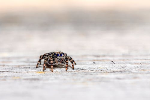 Brown and Black Jumping Spider on White Sand
