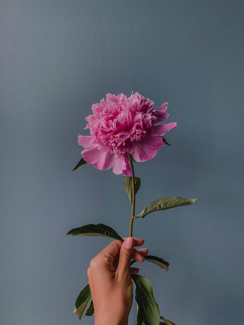Person Holding Pink Flower With Green Leaves