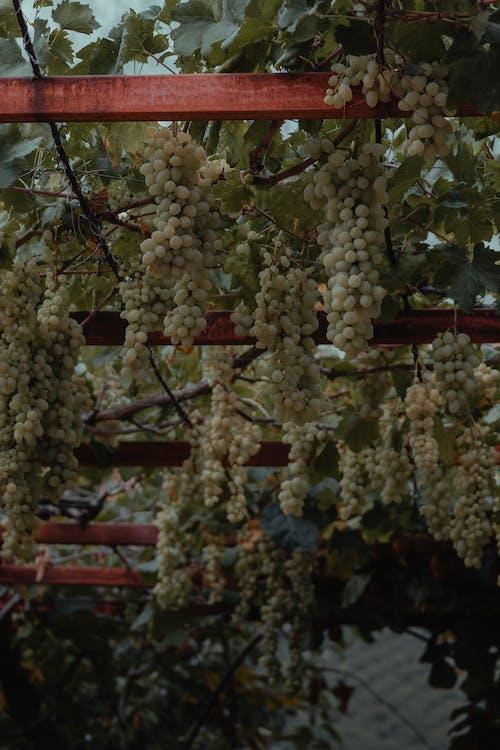 White Round Fruits on Tree