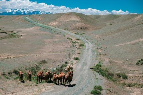 Foto profissional grátis de ao ar livre, árido, camelos