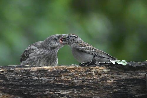 Free stock photo of avian, birds, brood parasitic