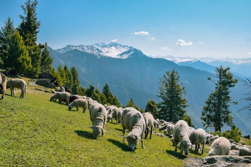 Herd of Sheep on Green Grass Field Near Green Trees and Mountains