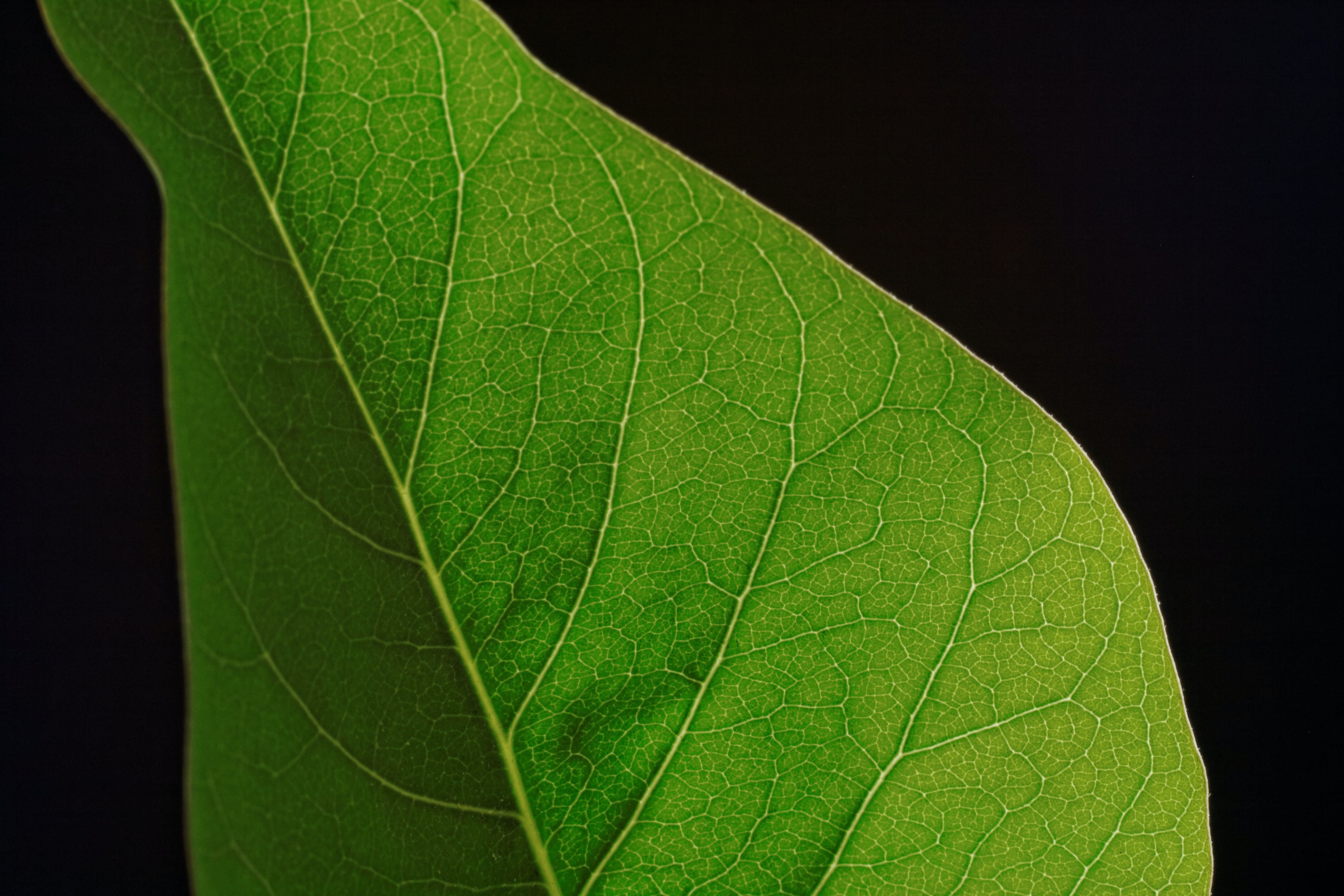 Free stock photo of leaf, green, veins