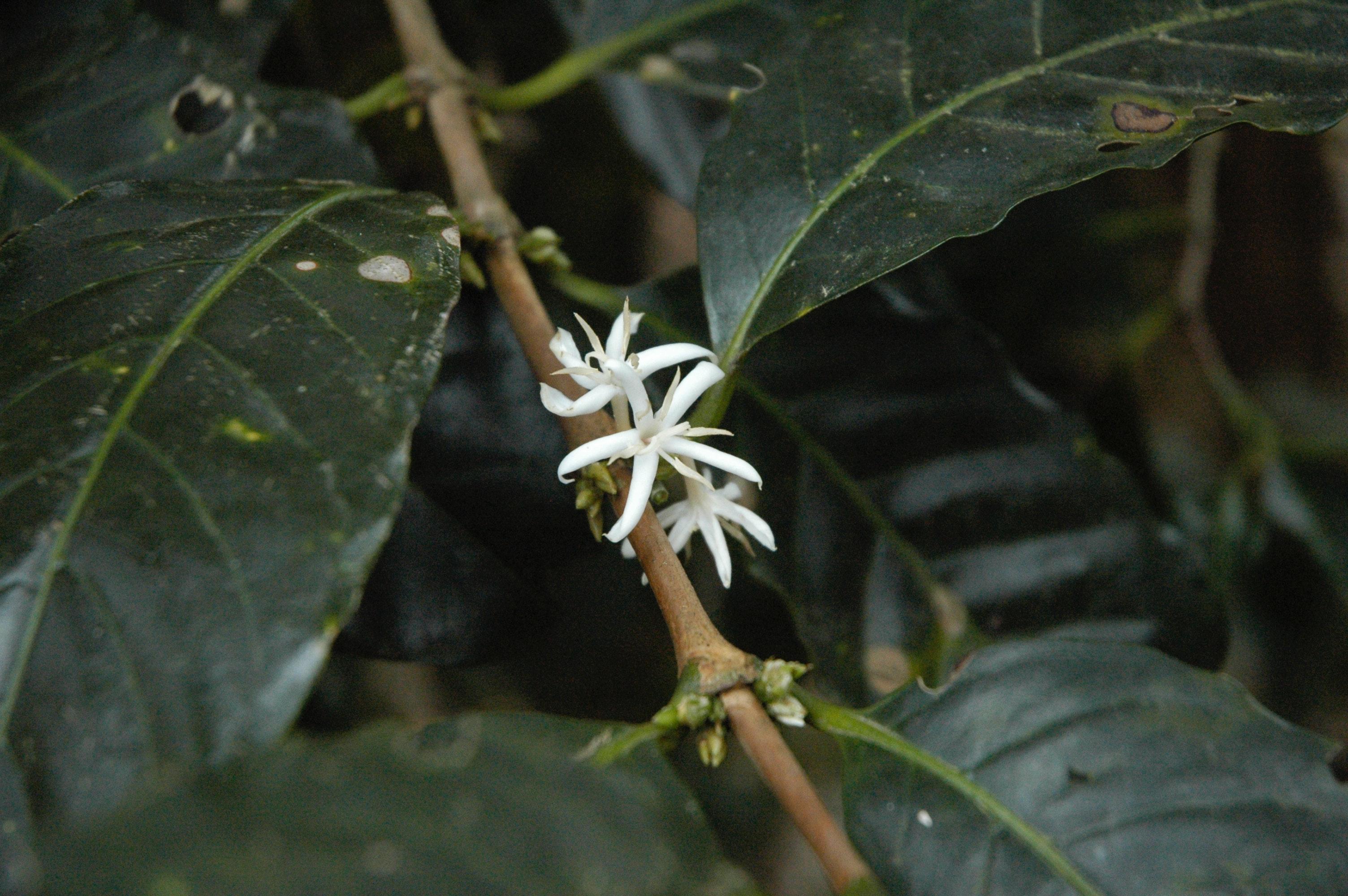 Free stock photo of coffee flowers, coffee plant, white flowers