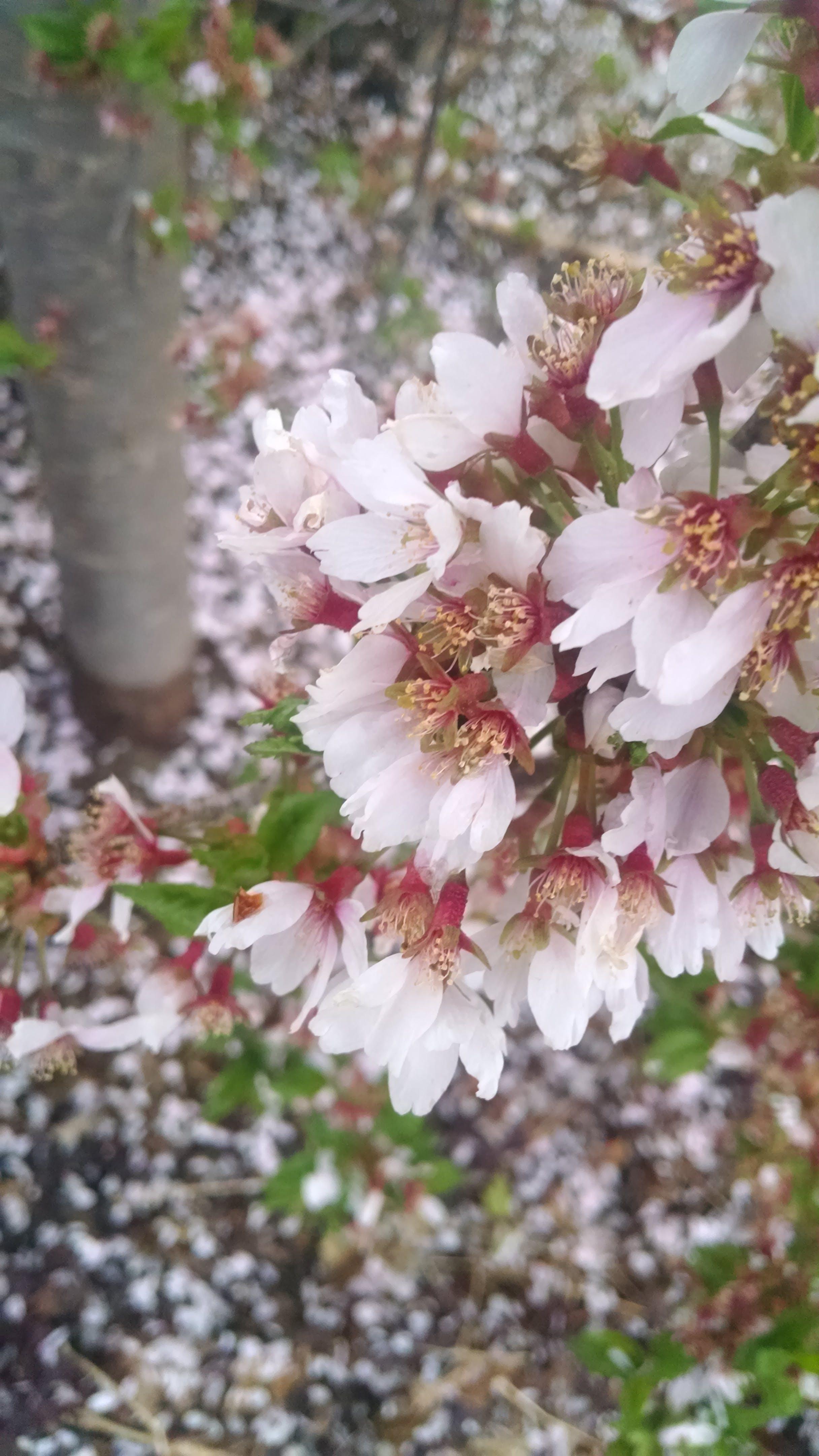 Free stock photo of flowers, bush, petals, tree