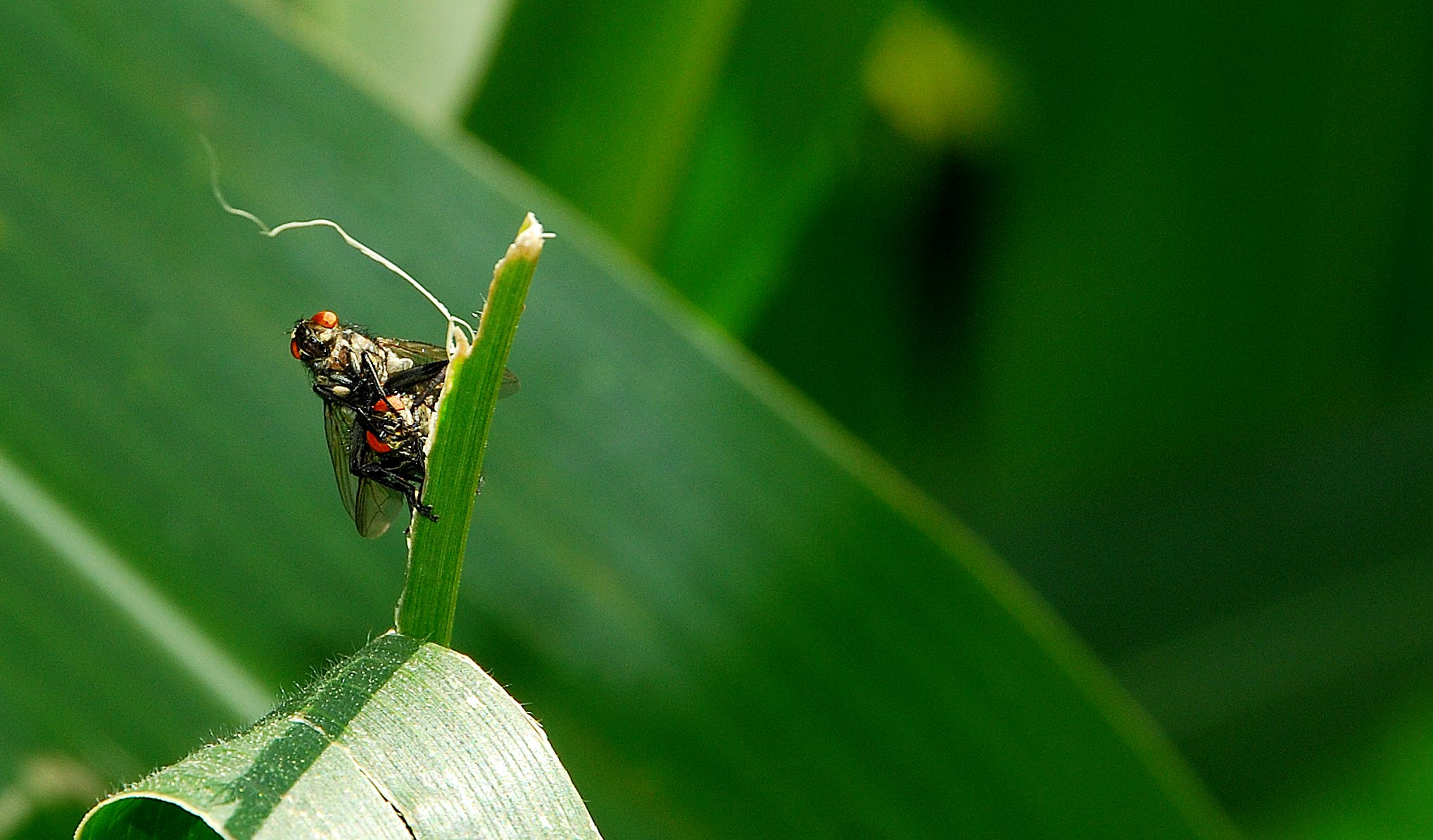 Two Black Fly Mating on Green Leaf