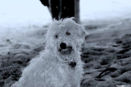 Imagine de stoc gratuită din adorabil, alb, animal, animal de casă