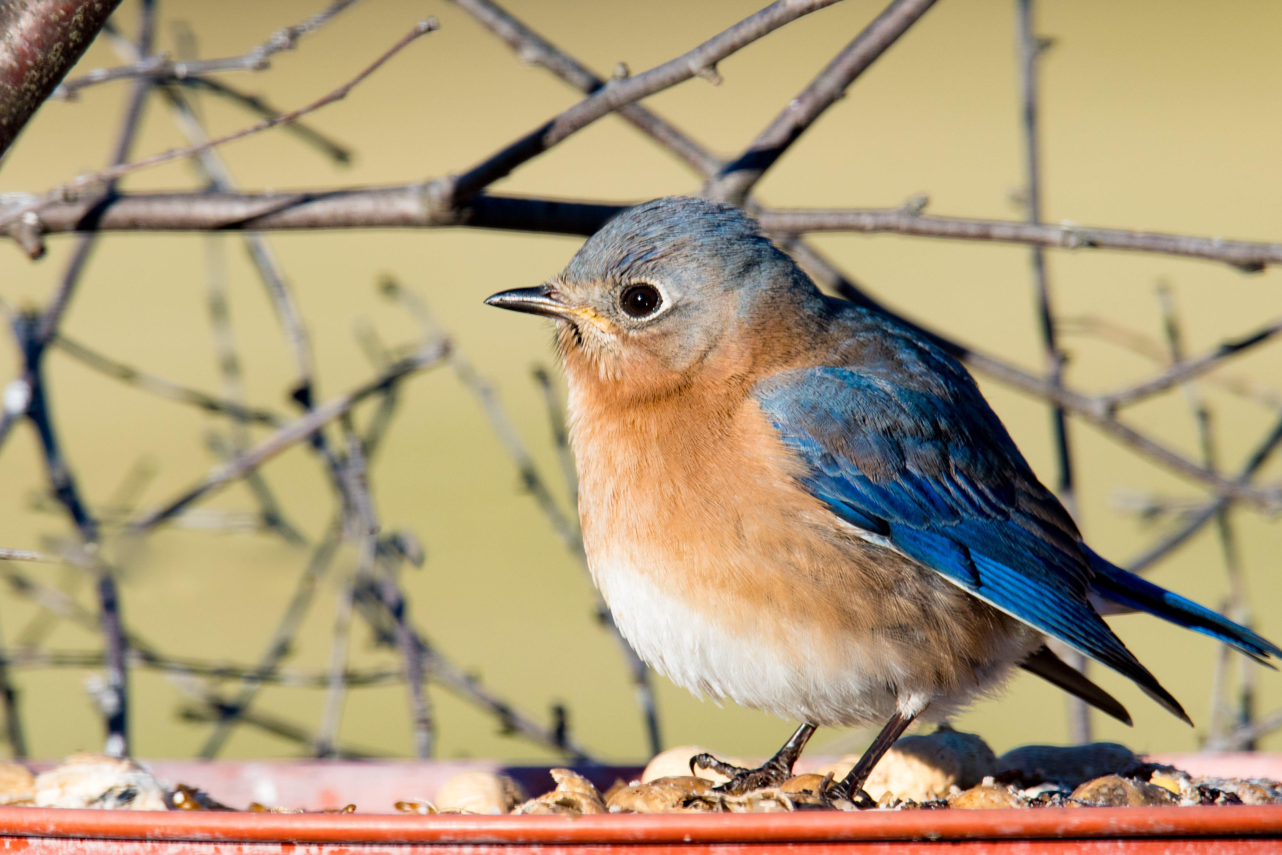 Free stock photo of animal, audubon, backyard, bird