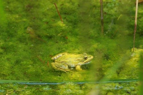 Kostenloses Stock Foto zu algen, frosch, grün