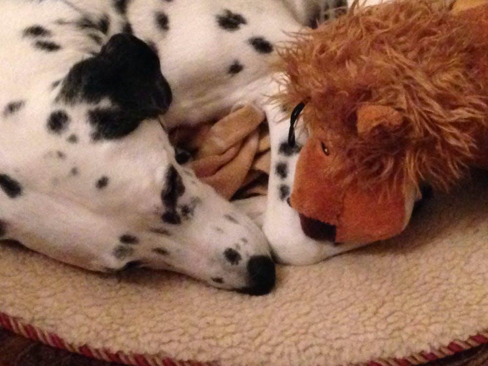 dalmatian, dog, dog toy