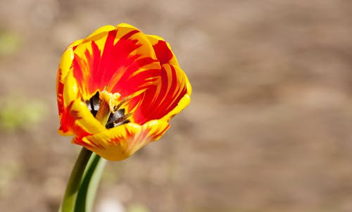 Close-Up Shot of a Blooming Tulip