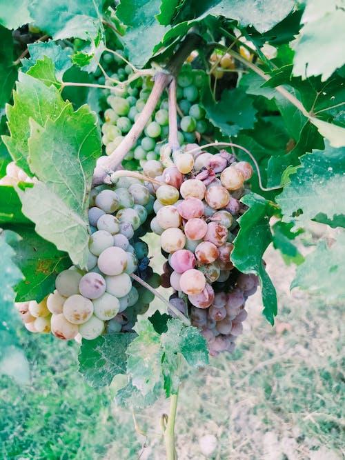 Fresh Grapes at a Vineyard
