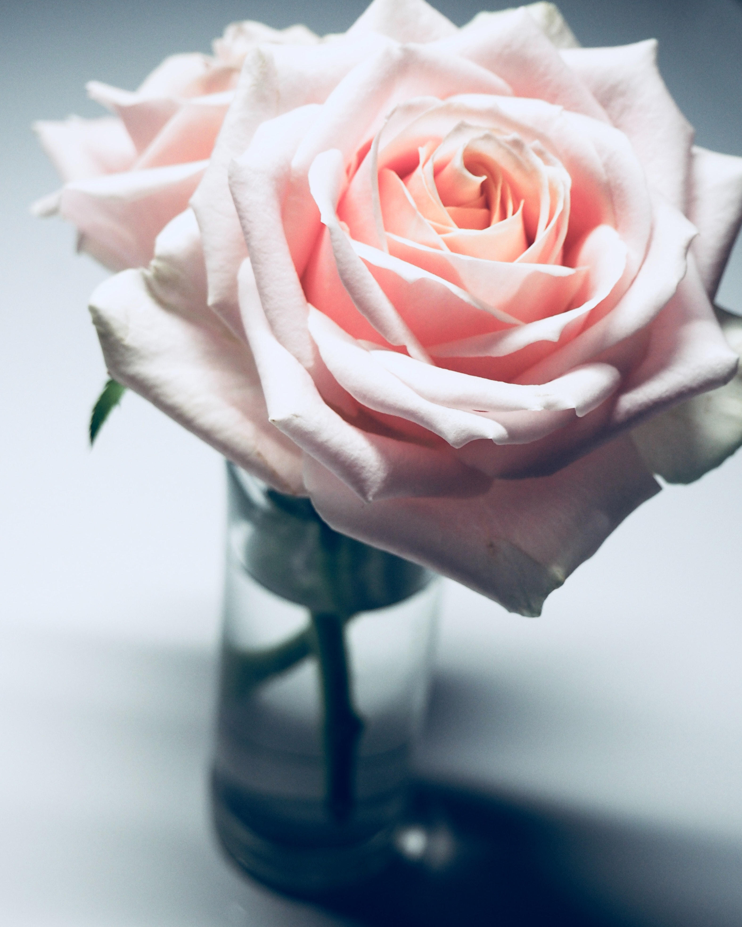 Closeup Photography Of Pink Rose Flower In Clear Glass Vase