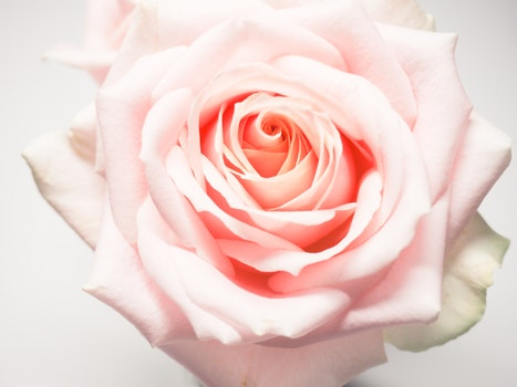 Macro Photography of Pale-pink Rose