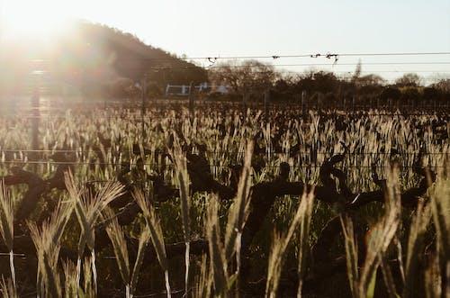 Безкоштовне стокове фото на тему «Захід сонця, країна, поле, ферма»