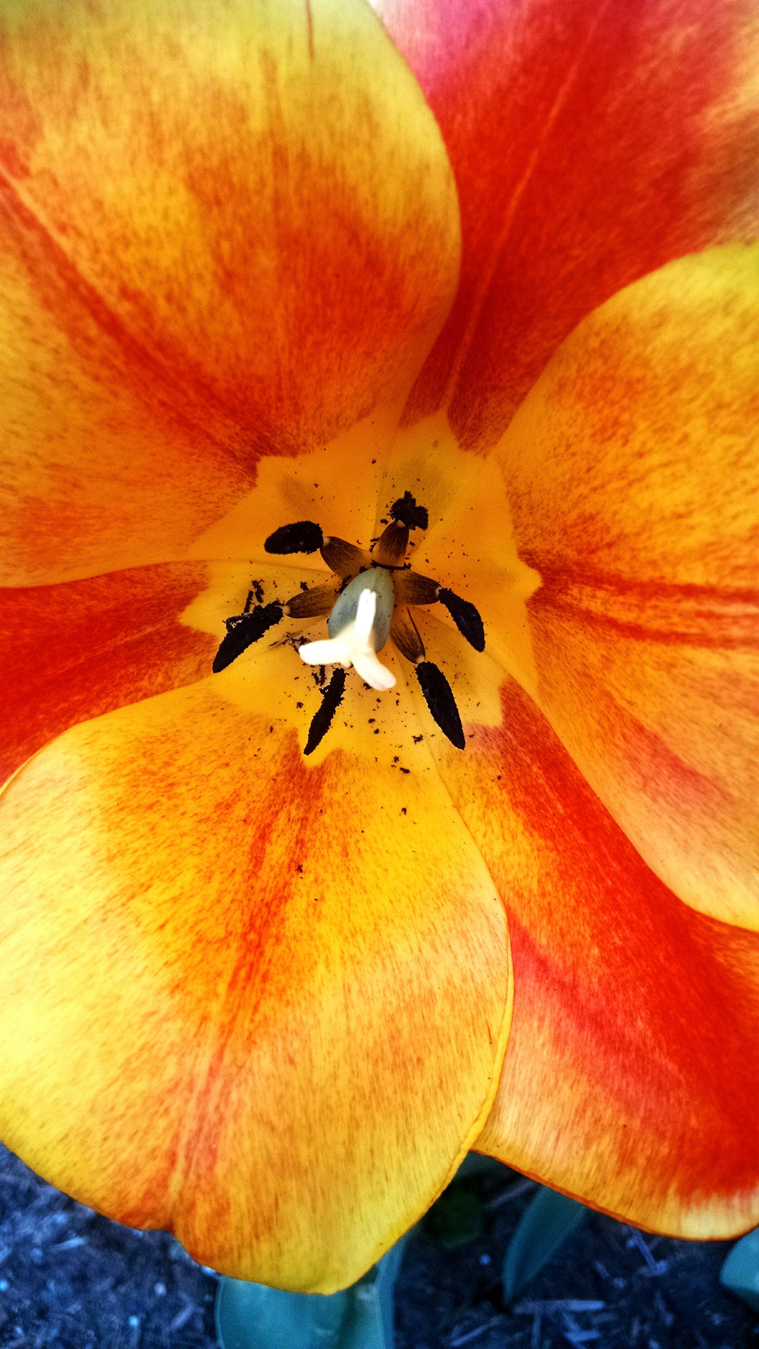 Free stock photo of petals, flower, bloom, tulip
