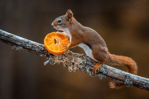 A Squirrel Holding a Sliced Fruit