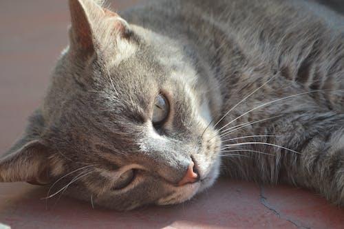 Free stock photo of cat face, feline