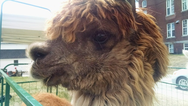 Free stock photo of festival, animal, fur, alpaca