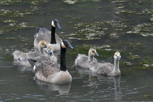 Free stock photo of avian, birds, canada geese