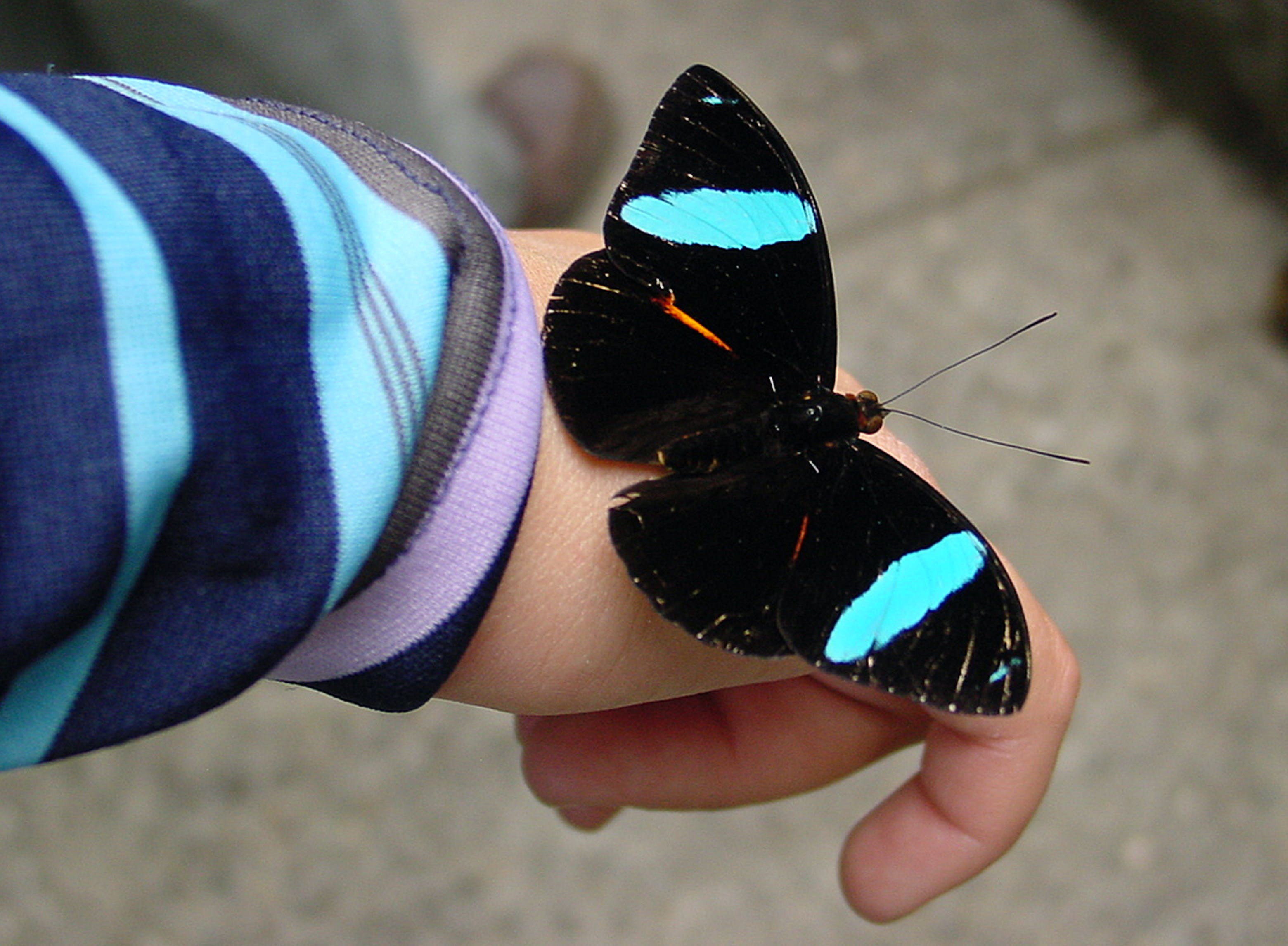 Free stock photo of butterfly on hand black blue spots