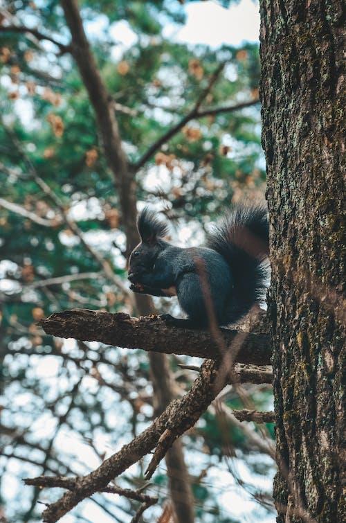 Darmowe zdjęcie z galerii z aberts wiewiórka, drzewo, fotografia zwierzęcia