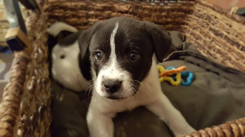 Free stock photo of black and white dog, dog, puppy