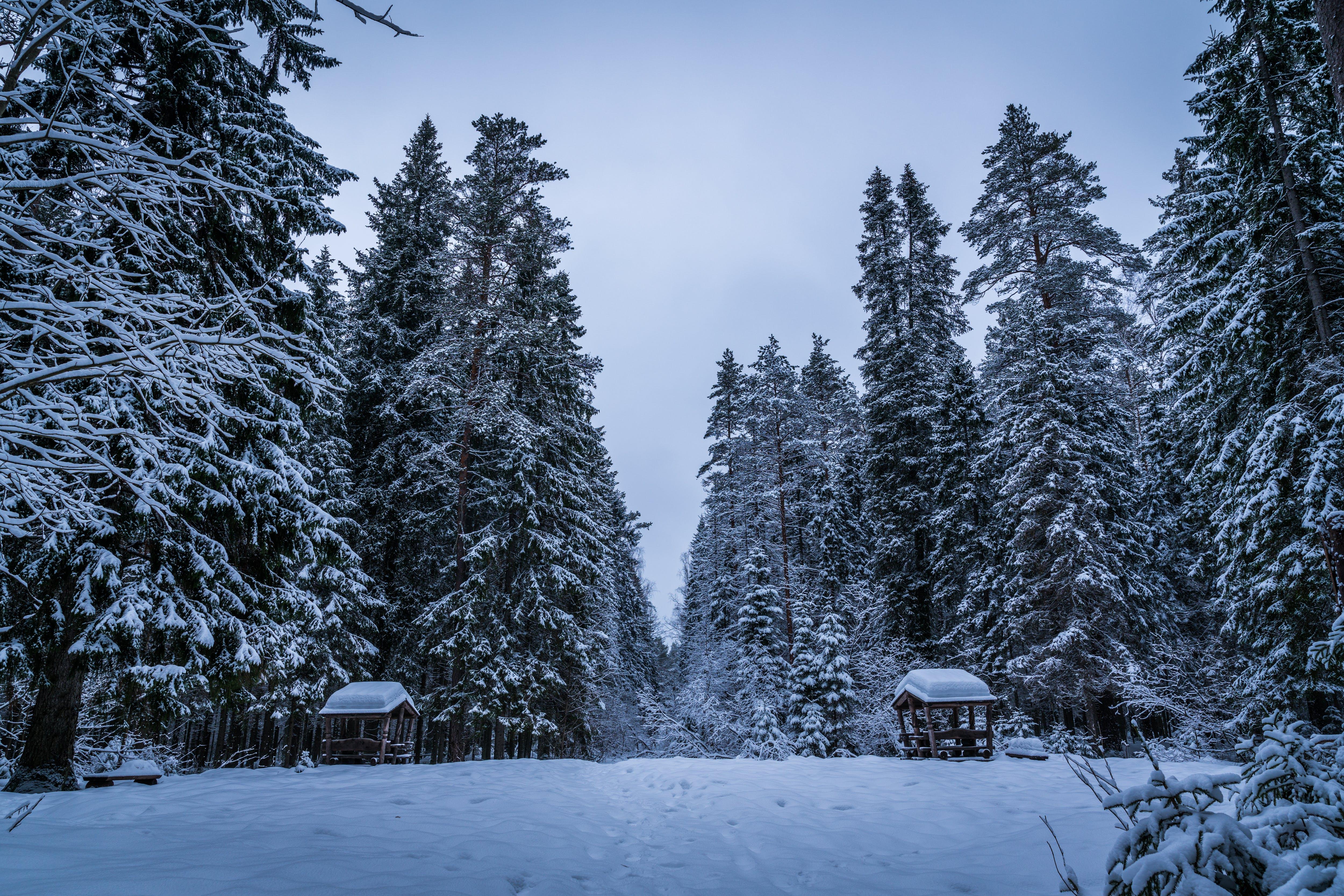 Foto d'estoc gratuïta de arbres, avet, bosc, congelat