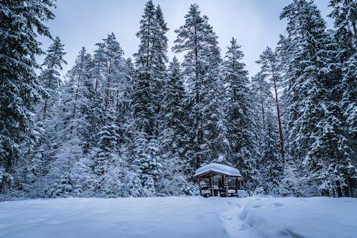 Δωρεάν στοκ φωτογραφιών με γραφικός, δασικός, δέντρα, έλατο
