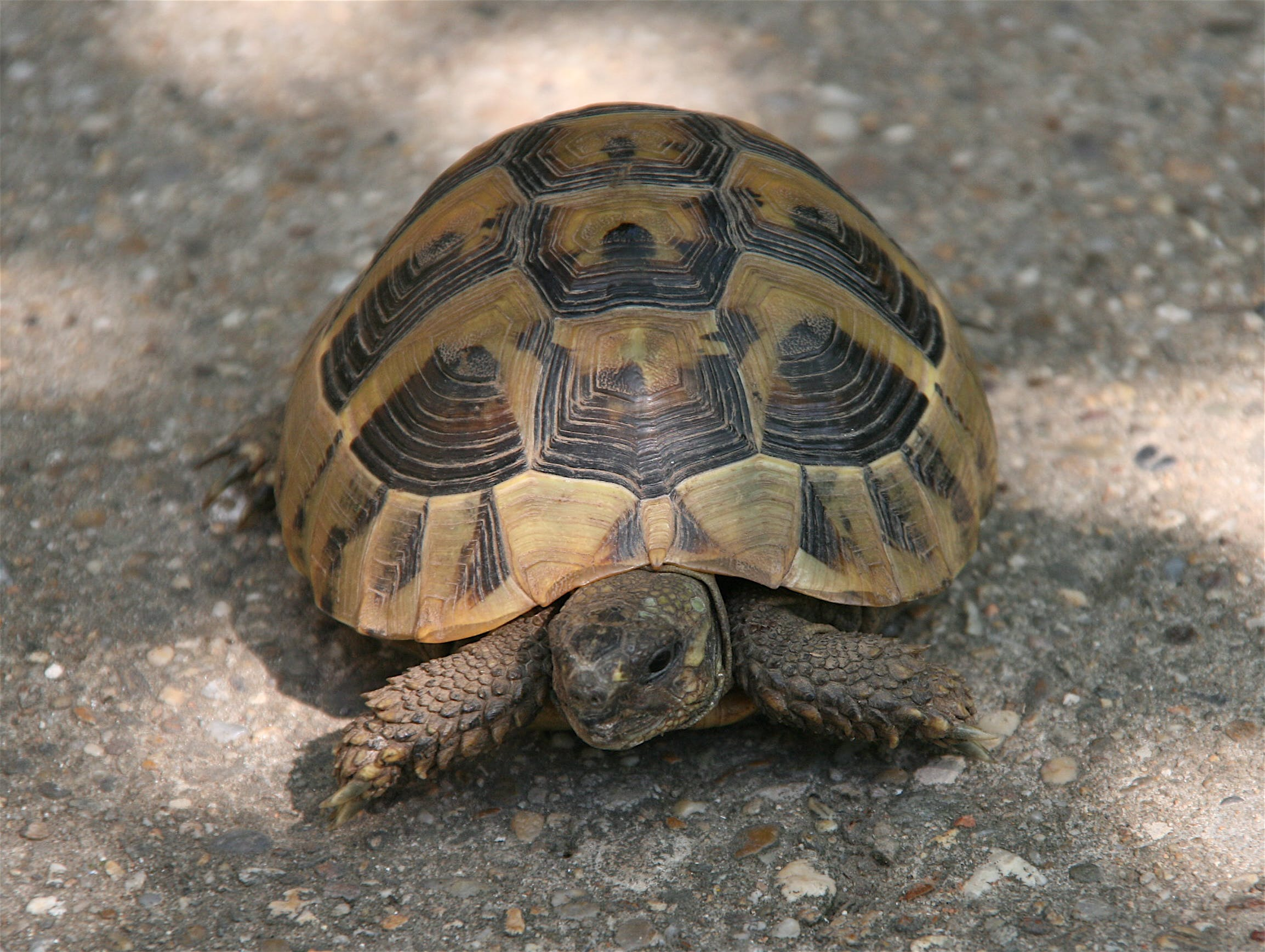 Free stock photo of tortoise