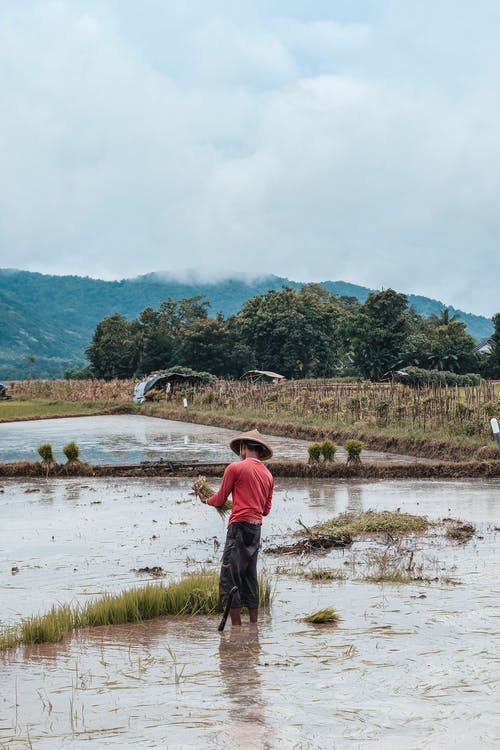 Back view of male farmer in conic hat standing in rice field on background mountains and green trees
