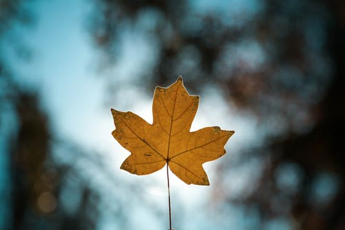 Close-Up Photo of Maple Leaf