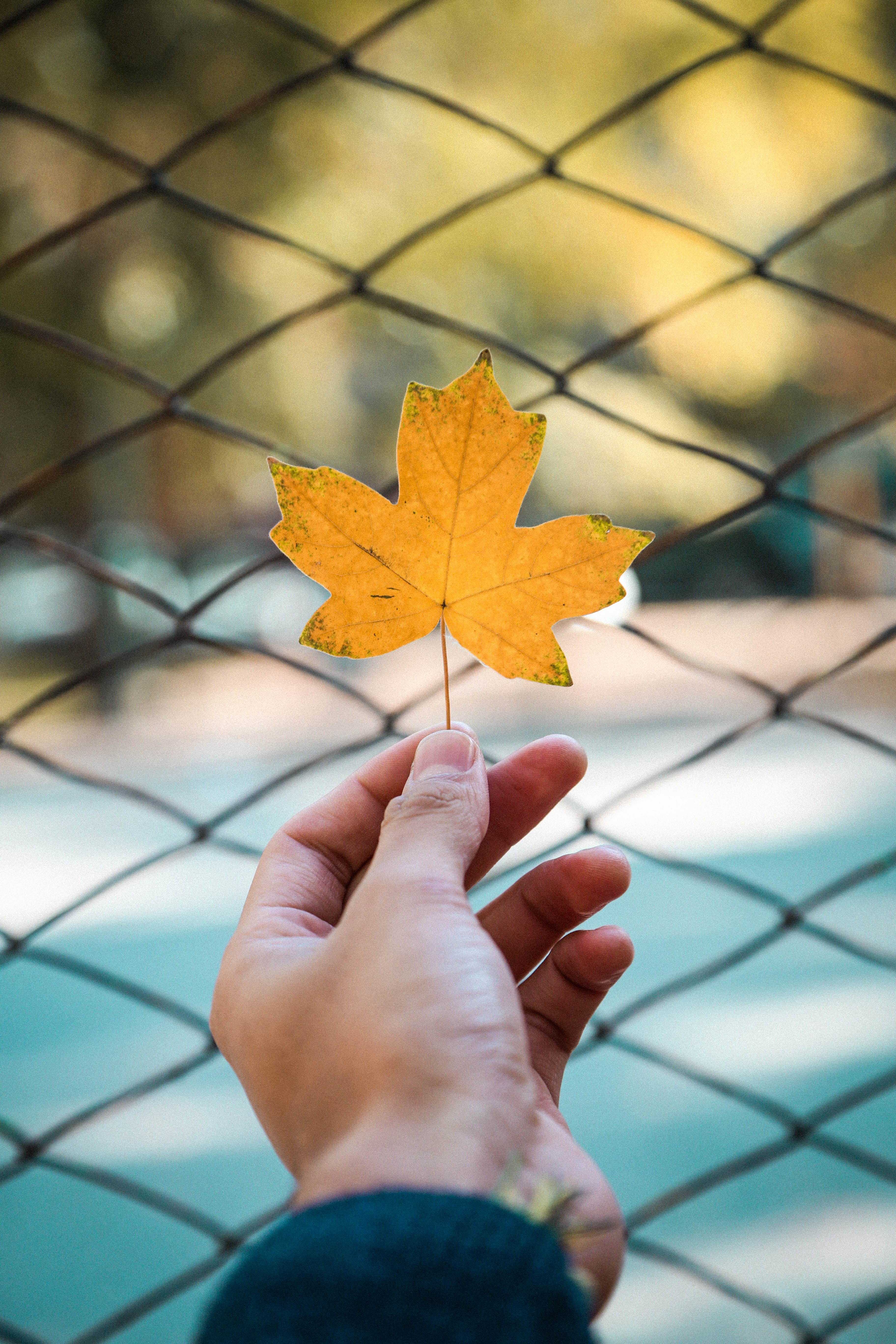 Person Holding a Maple Leaf